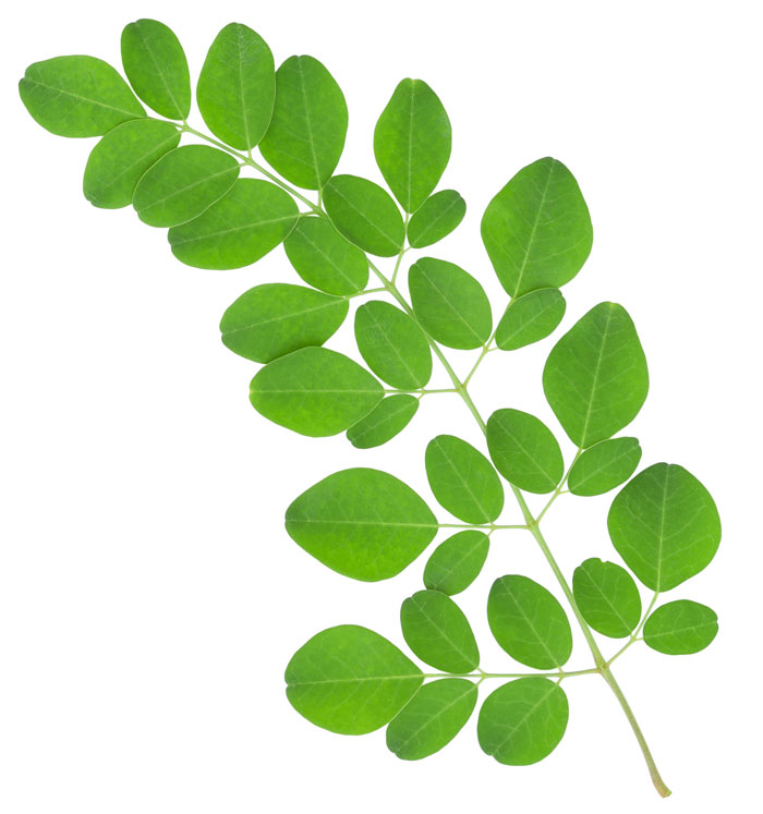 Moringa-Oleifera-Ast